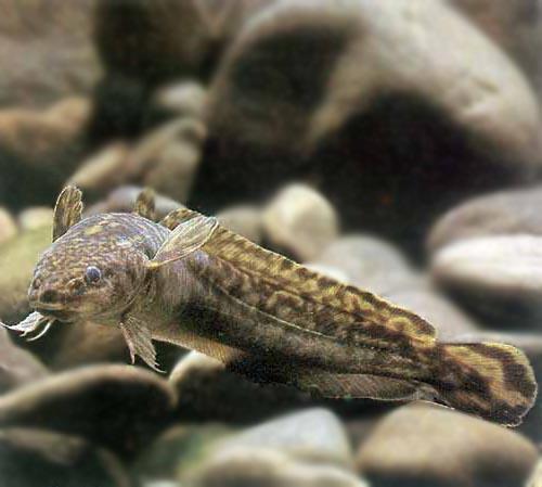 Jan  Knap: Rybářské svazy selhávají v ochraně původních druhů ryb